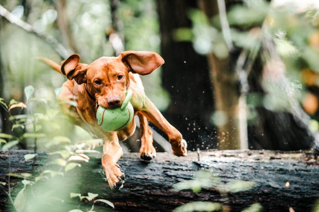 Løbende hund med bold