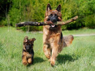 to hunde i løb